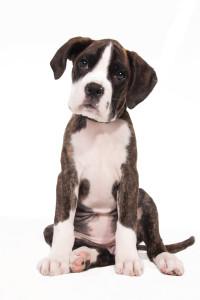 stockvault-cute-boxer-puppy132317